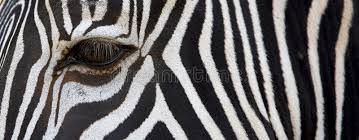 Zebra Patterns Gorgeous Zebra Patterns Stock Image Image Of Design Backgrounds 48