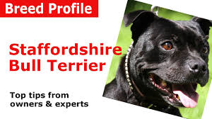 Staffy Puppy Weight Chart Staffordshire Bull Terrier Dog Breed Guide