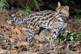 ocelot size margay felidae conservation fund