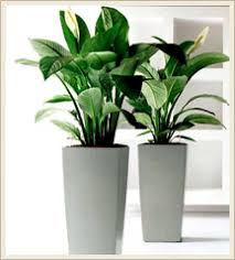 office plants for sale. Fine Plants Indoor Office Plants On For Sale R