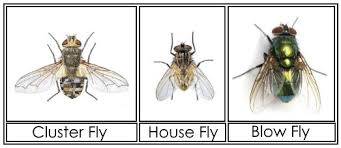 Cluster Flies – Information & How to Get Rid of Them