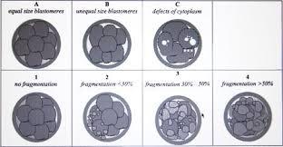 Embryo Grading Chart Grading Ivf Embryos Arizona Fertility Clinic