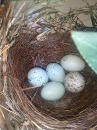 Egg Identification Chart Bird Egg Identification