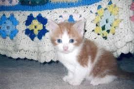 fluffy white and orange cats. Fine Cats Intended Fluffy White And Orange Cats