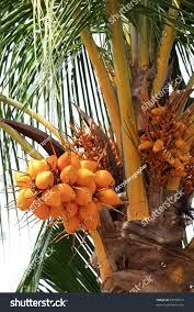 Typical Uruguayan Palm Tree Fern Image U0026 Photo  BigstockPalm Tree Orange Fruit