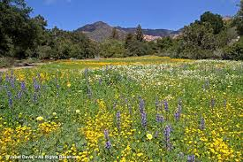 the meadow at the santa barbara botanical garden in march 2016 halfway through its renovation