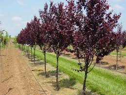 Plum Tree Pictures Images Photos Facts On PlumsPlum Tree Not Producing Fruit