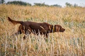 Irish Setter Width Chart Irish Setter Dog Breed Information