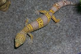 Leopard Gecko Size Chart Size And Growth Rate Of Lucilla