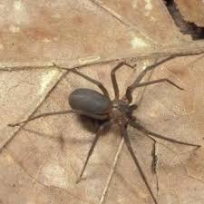 Brown Recluse Spider Tennessee Pest Identifier U S Pest