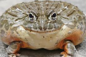 Image result for Bull Frog