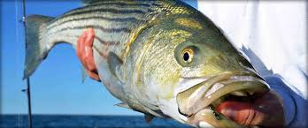 Massachusetts striped bass license