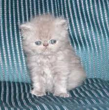 cute fluffy gray kittens. Interesting Cute For Cute Fluffy Gray Kittens S