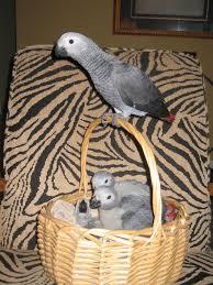 macaw parrot eggs uk