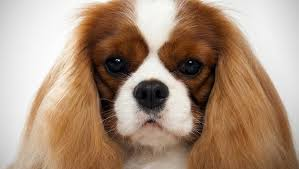cavaliers dogs. Plain Cavaliers Cavalier King Charles Spaniel Inside Cavaliers Dogs R