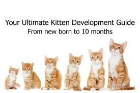 Kitten Size Chart Your Ultimate Kitten Development Guide Pawsometalk Medium