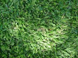 carpet grass. carpet grass d