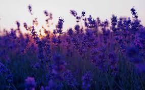 Purple Flowers Backgrounds 60 Field Of Purple Flowers Wallpapers Download At