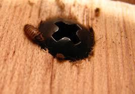Small Beetles In Bedroom Id Needed Carpet Beetle Larvae A Got Bed Bugs Bedbugger Forums