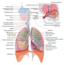 Лёгкие Википедия Схема лёгких и дыхательной системы человека