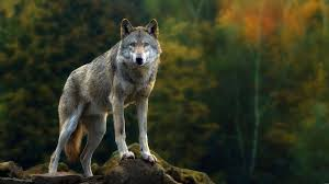 1920x1080 Wolf Wallpapers - Wolf ...