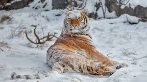Image result for tiger in snow