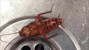 kitchen roaches in kitchen sink interesting on kitchen inside