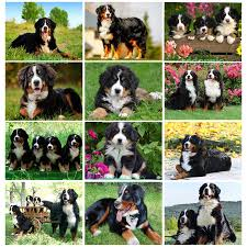 <b>new arrival Diamond</b> painting embroidery Puppy Bernese Mountain ...