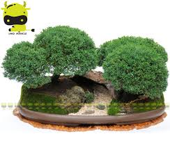 office bonsai tree. Fine Bonsai Juniper Bonsai Tree Seeds Potted Flowers Office Juniperus Chinensis  50 SeedsPack Purify The Air Absorb Harmful Gasesin From Home U0026 Garden  Throughout Tree N