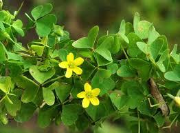 Image result for wood sorrel flower