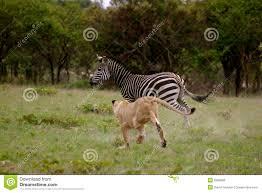 lioness hunting zebra. Interesting Zebra Lion Hunting Zebra Throughout Lioness Hunting E