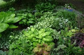 perennials for shady areas