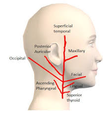 arteries of the face how to remember the branches of external carotid artery eca