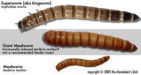 Mealworm Size Chart Sonjarants Sonja Rants