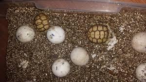 incubated sulcata eggs