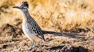 9 Revealing Facts About Roadrunners