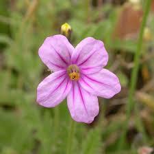 Erodium botrys - Wikipedia