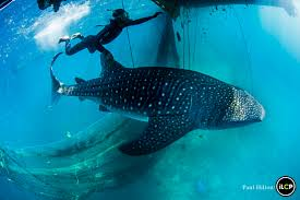 very different assignment there is no dom here and whale sharks shown here swimming in a netted pool were recovered as part of an operation