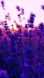 Flowers Lavender Plants Purple Mobile ...