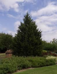 Buy mature red cedars