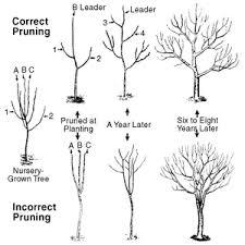 Fruit Tree Pruning  Tree Pruning Fruit Trees And ApplesFruit Tree Shapes