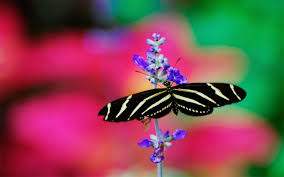 White Butterfly Wallpapers Images and ...