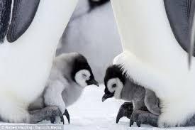cute baby penguin wallpaper. Delighful Baby Cute Baby Penguins On Penguin Wallpaper G