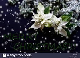 Weihnachtsstern Blume Mit Tannenbaum Und Schnee Auf Dunklem