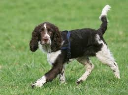 Growth Chart English Springer Spaniel Its Adult Weight