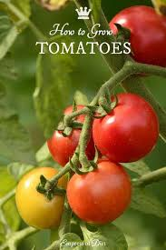 Tomato Seed Growth Chart Tomatoes 101 A Quick Start Guide For Beginners Tomatoes