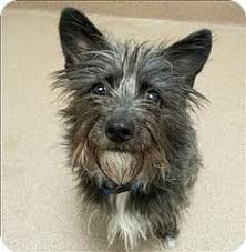 black cairn terrier mix. Unique Cairn Pet Adoption Has Dogs Puppies Cats And Kittens For Adoption Intended Black Cairn Terrier Mix D