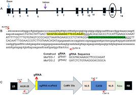 Crispr Cas9 Guide Rna Design Frontiers Efficient Crispr Cas9 Genome Editing Of Phytoene