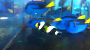 black and yellow clown fish. Interesting Black Inside Black And Yellow Clown Fish N