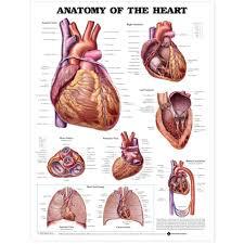 Cardiac Anatomy Chart Anatomy Of The Heart Chart Poster Laminated Heart